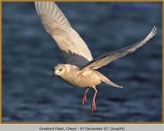 iceland-gull-04.jpg