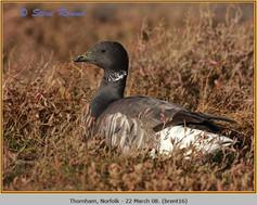 brent-goose-16.jpg