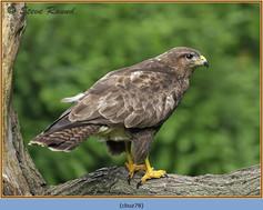 buzzard- 78.jpg