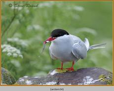 arctic-tern-34.jpg