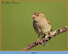 house-sparrow-70.jpg