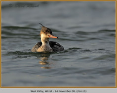 red-breasted-merganser-16.jpg