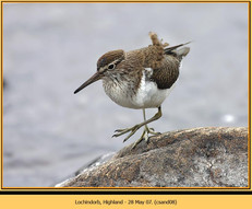common-sandpiper-08.jpg