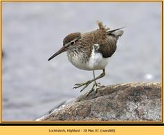 common-sandpiper-08.jpg