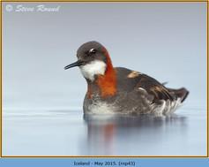 red-necked-phalarope-43.jpg