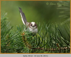 long-tailed-tit-31.jpg