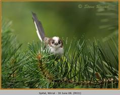 long-tailed-tit-31.jpg