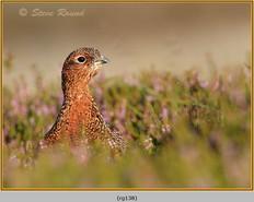 red-grouse-138.jpg