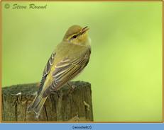 wood-warbler-82.jpg