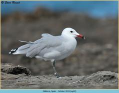 audouin's-gull-42.jpg