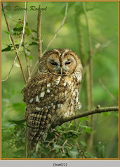 tawny-owl-22.jpg