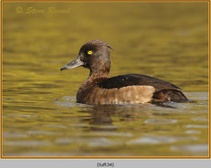 tufted-duck-34.jpg