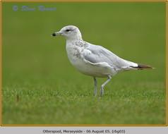 ring-billed-gull-03.jpg
