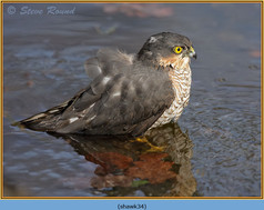sparrowhawk-34.jpg