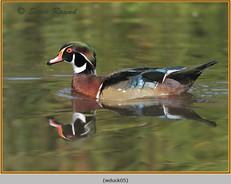 wood-duck-05.jpg