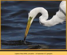 great-white-egret-03.jpg