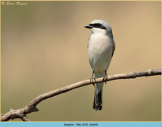 red-backed-shrike-04.jpg