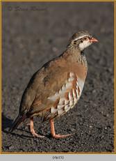 red-legged-partridge-15.jpg