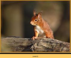 red-squirrel-15.jpg