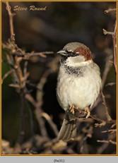 house-sparrow-31.jpg
