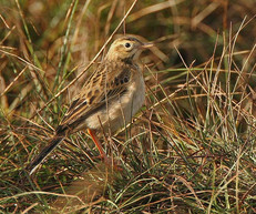 richards-pipit-04.jpg