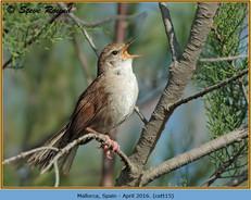 cettis-warbler-15.jpg