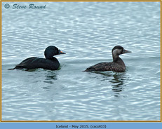 common-scoter-03.jpg