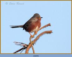 dartford-warbler-04.jpg