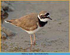 little-ringed-plover-45.jpg