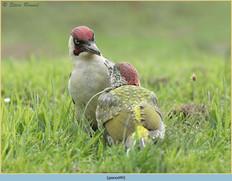 green-woodpecker-49.jpg