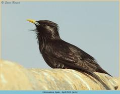 spotless-starling-16.jpg