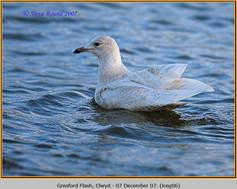 iceland-gull-06.jpg