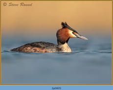 great-crested-grebe-65.jpg