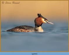 great-crested-grebe-65.jpg