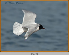 little-gull-46.jpg