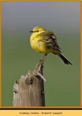 yellow-wagtail-10.jpg