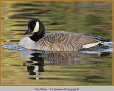 canada-goose-15.jpg