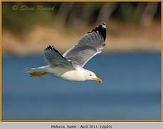 yellow-legged-gull-20.jpg