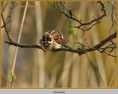 reed-bunting-46.jpg
