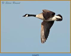 canada-goose-45.jpg