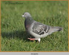 feral-pigeon-04.jpg