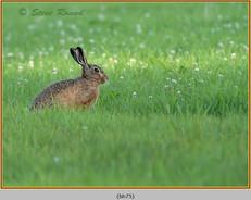 brown-hare-75.jpg