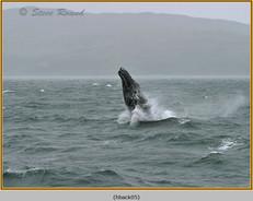 humpback-whale-05.jpg