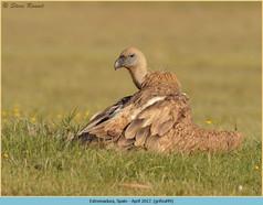 griffon-vulture-49.jpg