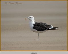 gt-b-backed-gull-20.jpg