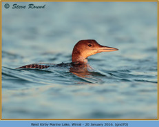 great-northern-diver-70.jpg