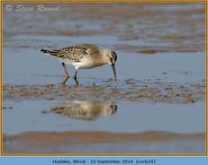 curlew-sandpiper-24.jpg