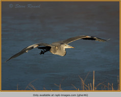 grey-heron-46.jpg