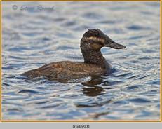 ruddy-duck-03.jpg