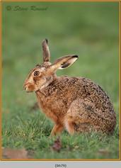 brown-hare-79.jpg